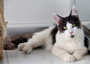 Available Mainecoon Kitten