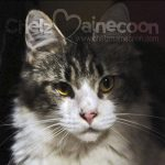jual mainecoon