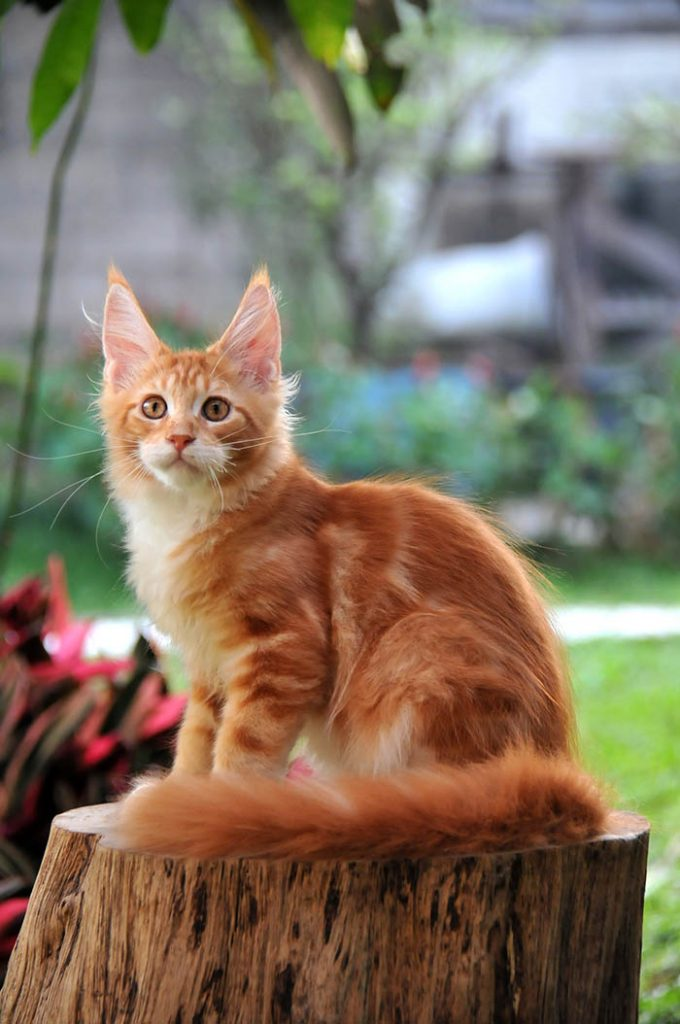 jual mainecoon | mainecoon cattery