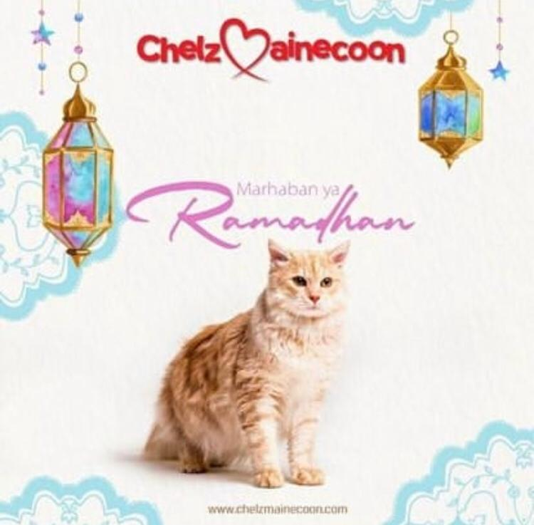 chelzmainecoon cattery